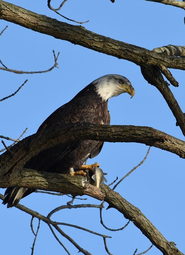 Banded-Eagle