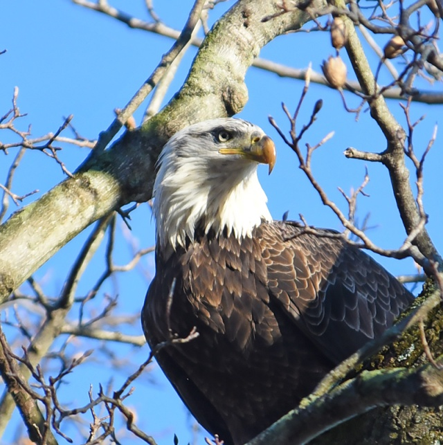 Eagle-Portrait