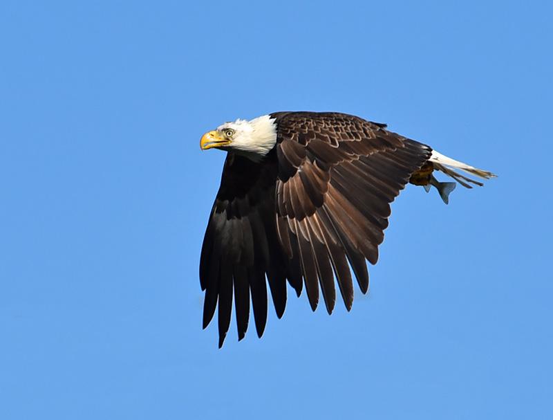Conowingo Dam Eagles, Darlington Maryland