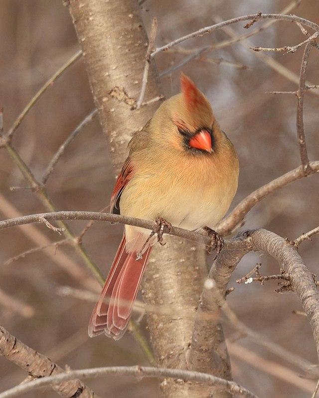 female-Cardinal1-22-16-0