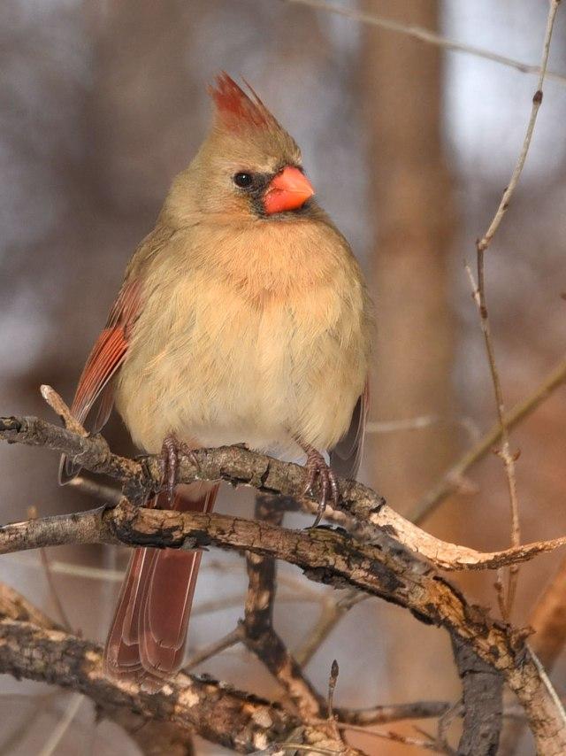 female-Cardinal1-22-16-1