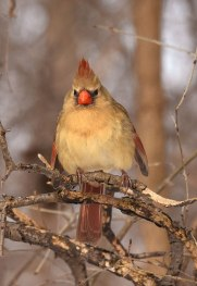 female-Cardinal1-22-16-3