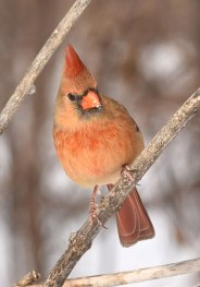 female-Cardinal1-22-16-5