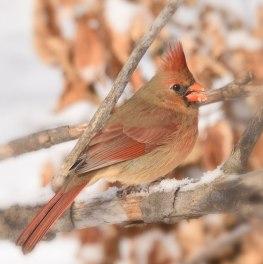 female-Cardinal1-22-16-7