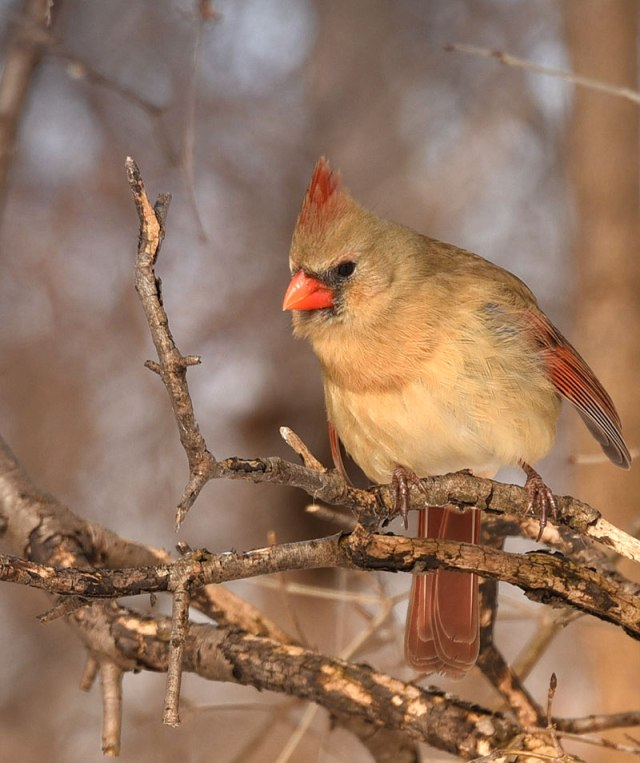 female-Cardinal1-22-16