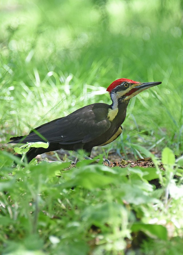 Pileated-Woodpecker-1