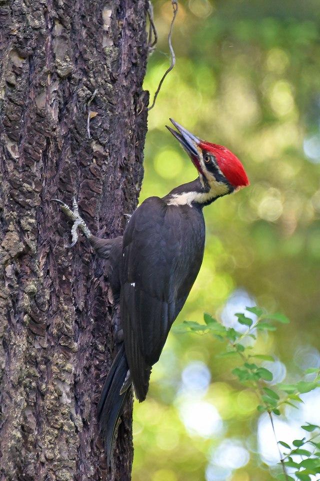 Pileated-Woodpecker-Up-Tree