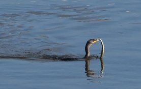 cormorant-with-eel-0