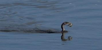 cormorant-with-eel-2