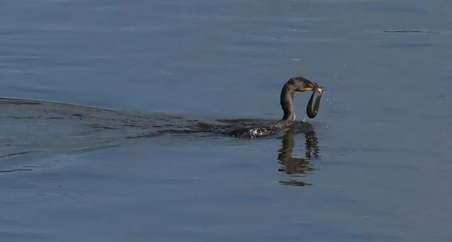 cormorant-with-eel-3