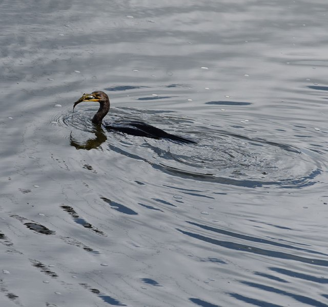 cormorant-with-fish-1