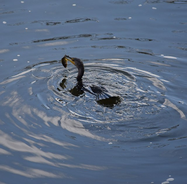 cormorant-with-fish