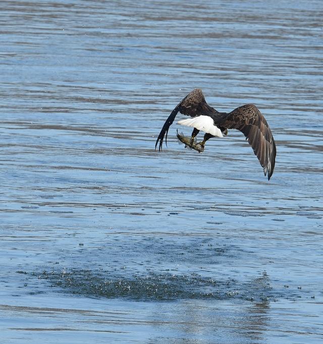 eagle-fishing