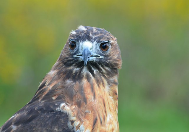 fall-red-tailed-hawk