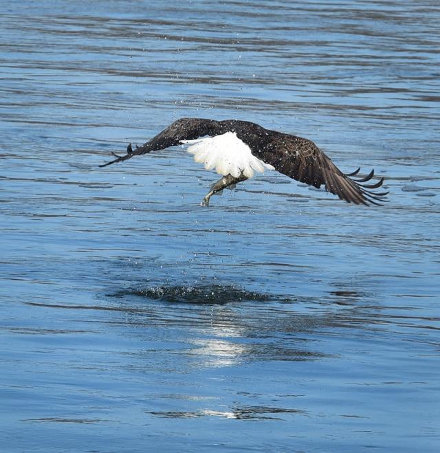 fishing-eagle