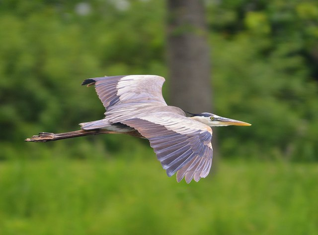 flying-blue-heron