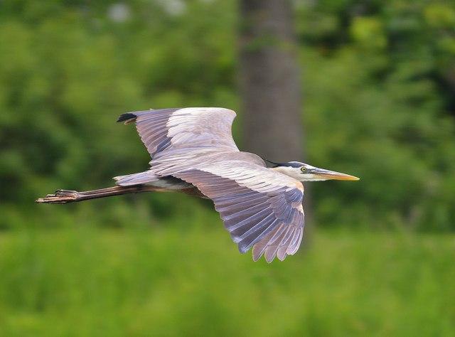 flying-blue-heron