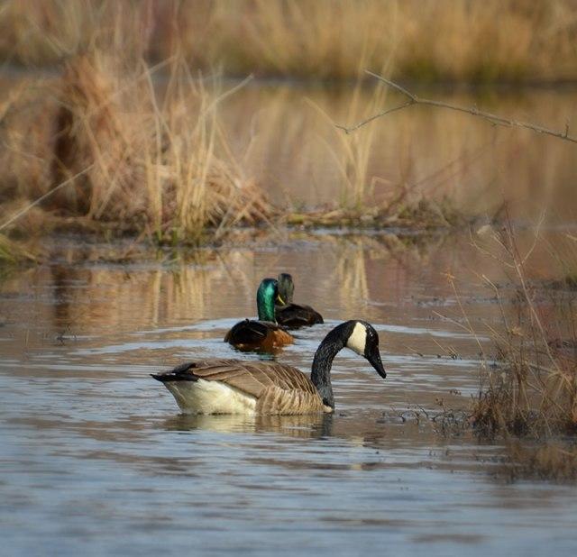 goose-ducks
