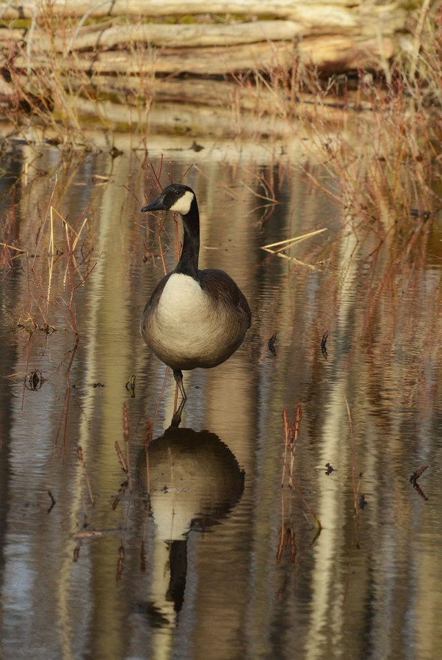 goose-reflection