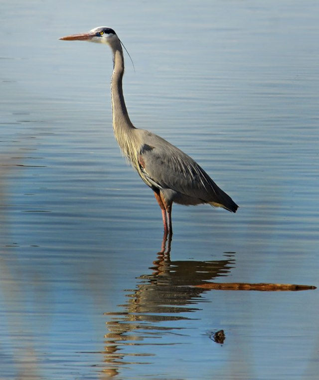 great-blue-heron-at-iriquiose