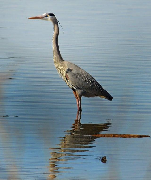 great-blue-heron-at-iriquiose