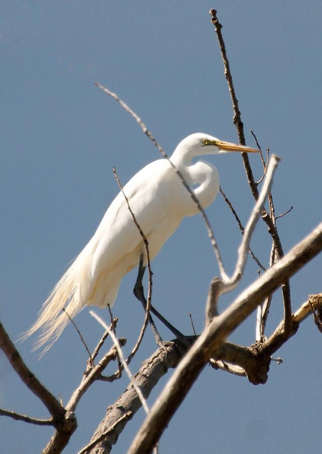 great-egret-in-tree-2