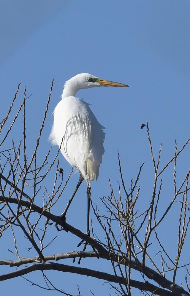 great-egret-in-tree