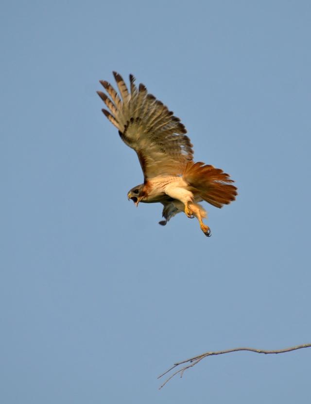 hawk-flying