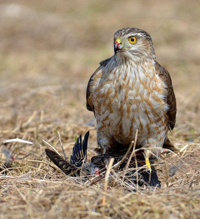 hawk-having-a-starling