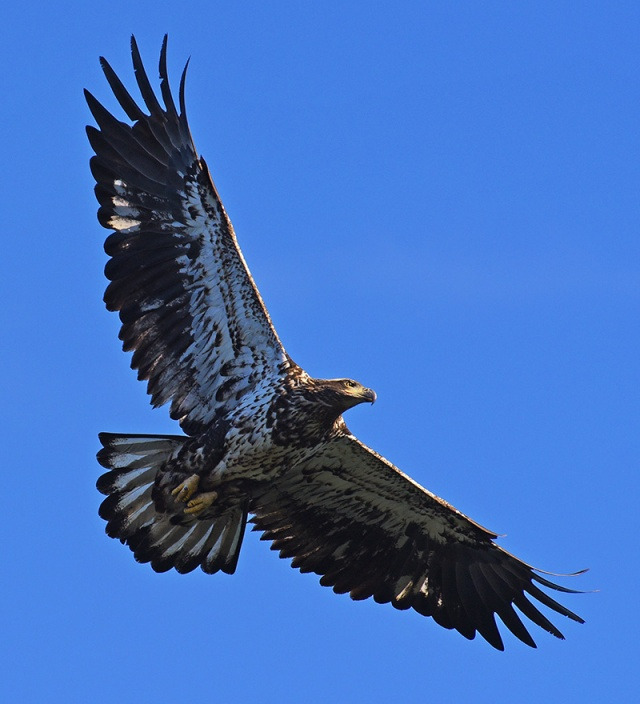 immature-eagle