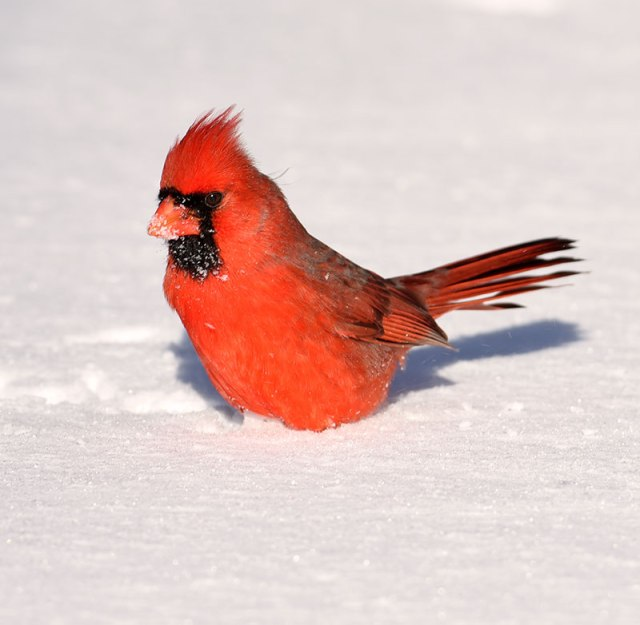 male-cardinal-in-snow
