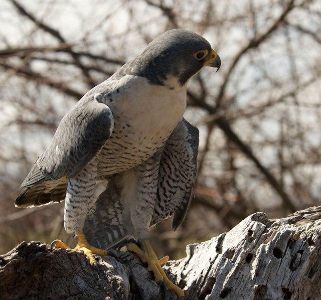 perigrine-falcon