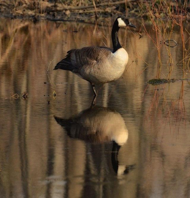 pretty-goose