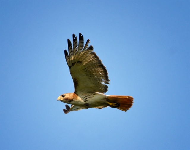 red-tailed-hawk-4