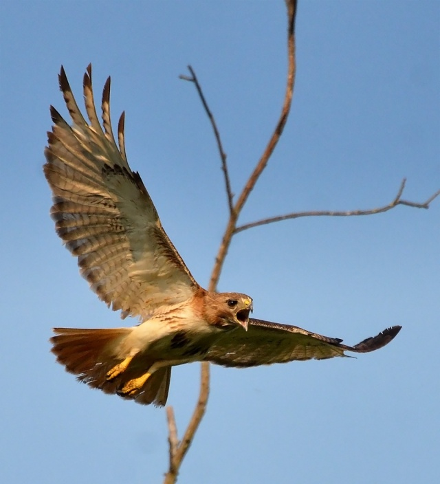 res-tailed-hawk