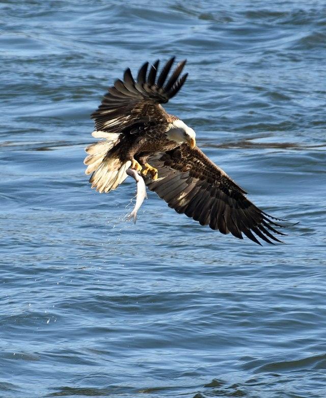 eagle-grabbing-fish