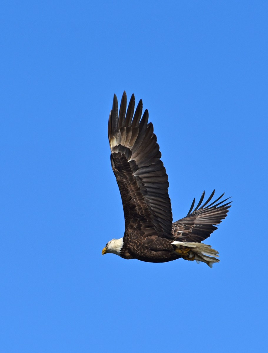 Where Did My Conowingo Eagle Photos Go?