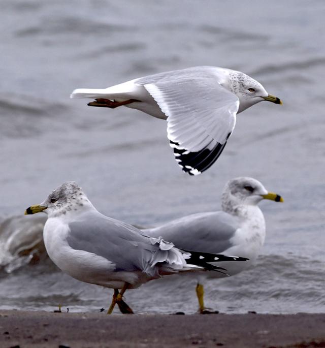 3-gulls