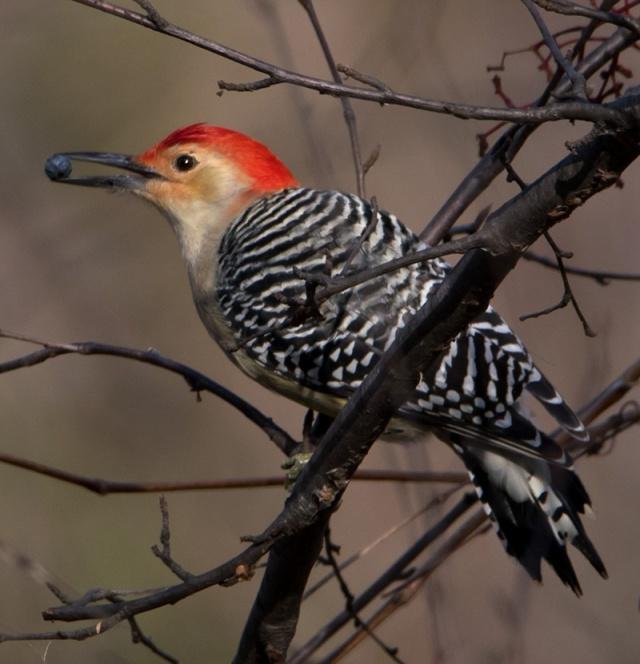 berry-wodpecker