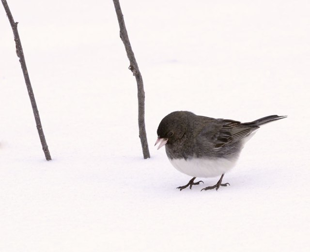 black-eyed-junco1