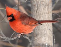 boy-cardinal
