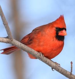 cardinal-boy