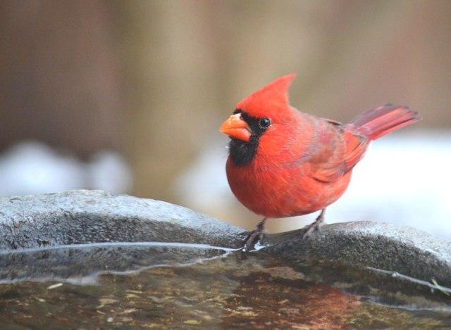 cardinal_at_birdbath