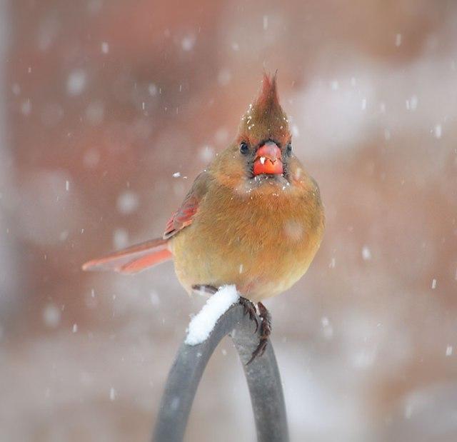 cardinal_in_falling_snow