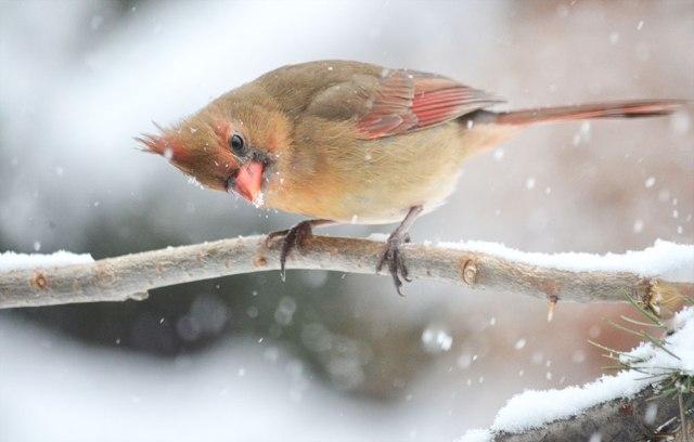 cardinal_on_branch