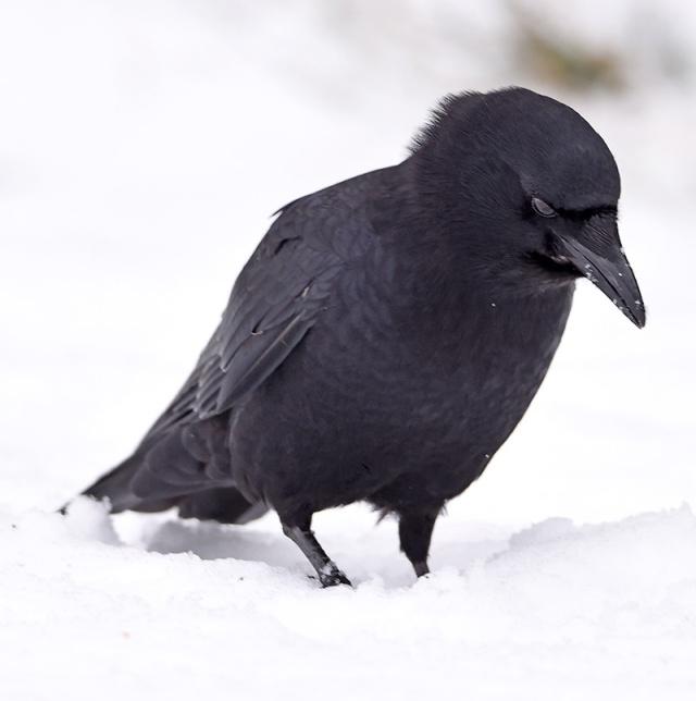 crow-2