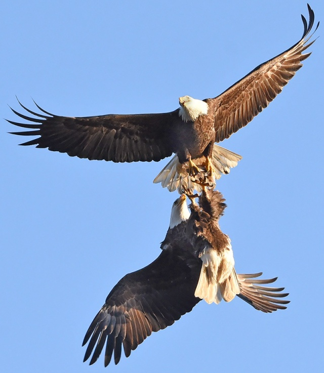 fighting-eagles-7
