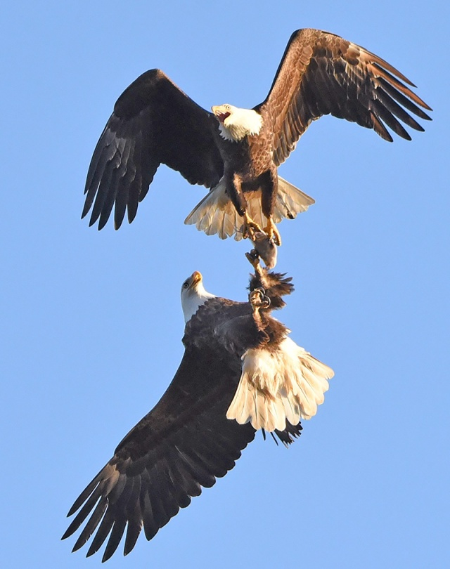 fighting-eagles-8