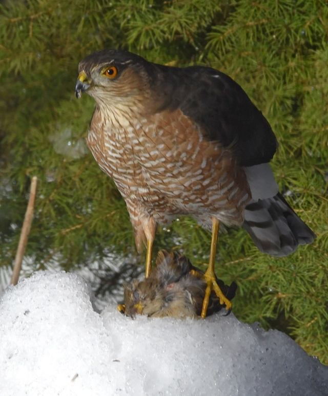 hawk-sparrow-1