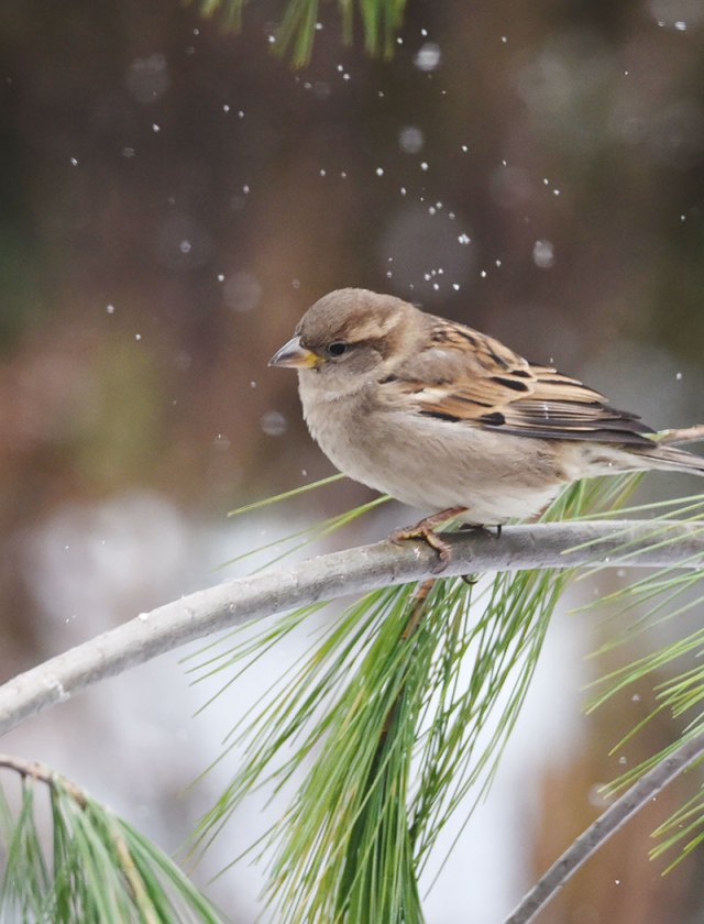 sparrow-in-snow